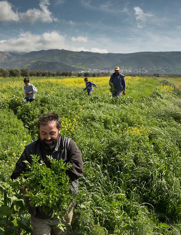 Picking parsley. Visiting the fields of Adonis Gligoris, a farmer from Pyrgos village.