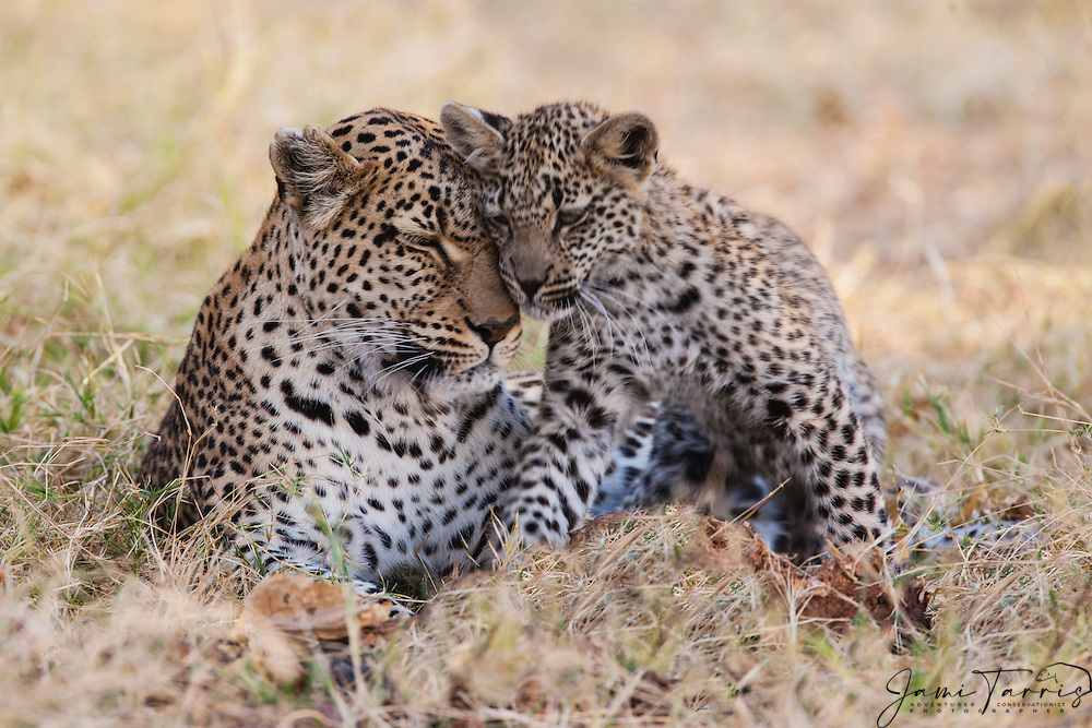 A female leopard (Panthera pardus) and her cub affectionately rubbing heads,Moremi Game Reserve,Botswana,Africa