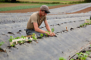 Male worker planting strawberries outdoors, Riverford Organics farm, Totnes, Devon, UK food industry