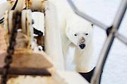 A polar bear (Ursus maritimus) seen through the railing of a small sailboat up-close, Spitsbergen, Svalbard, Norway