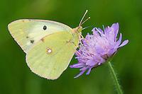 Berger's Clouded Yellow butterfly; Colias alfacariensis; Ruggellerriet, Liechtenstein