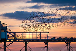 © Licensed to London News Pictures. Aberystwyth,UK. 14/10/2018. Thousands of tiny starlings fly in intricate patterns or 'murmurations' in the sky above  Aberystwyth seafront, before settling to roost for the night on the cast iron columns underneath the town's distinctive Victorian seaside pier. One of only a handful of urban roosts in the UK, the nightly display draws people from all over the country . Photo credit: Keith Morris/LNP