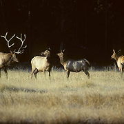 Elk (Cervus canadensis) bull in rut watching over a cow harem.  Fall in Wyoming.