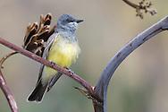 Cassin's Kingbird - Tyrannus vociferans - Adult
