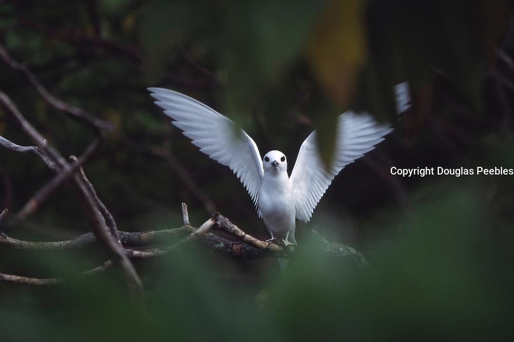 Fairy tern, Henderson Island, Pitcairn Group<br />
