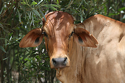 The gentle face of a Brahman cow.