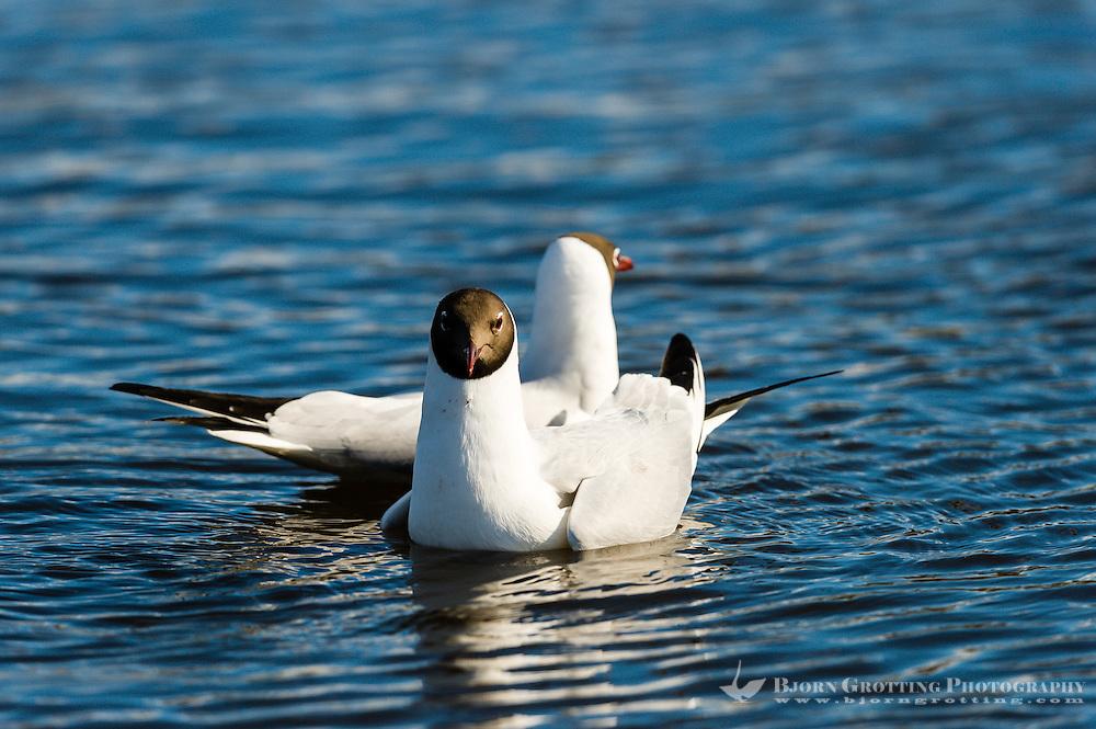 Sweden, Lake Hornborga. Black-headed Gull.