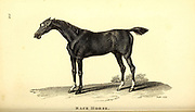 Race horse from General zoology, or, Systematic natural history Vol II Part 2 Mammalia, by Shaw, George, 1751-1813; Stephens, James Francis, 1792-1853; Heath, Charles, 1785-1848, engraver; Griffith, Mrs., engraver; Chappelow. Copperplate Printed in London in 1801 by G. Kearsley