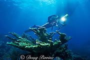 diver photographing elkhorn coral, Acropora palmata, Molasses Reef, Florida Keys National Marine Sanctuary, Key Largo, Florida, ( Western Atlantic Ocean )  MR 79