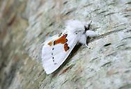 White Prominent - Leucodonta bicoloria