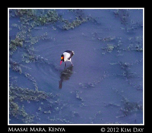 Saddle Billed Stork In Water Hole.Maasai Mara, Kenya.September 2012