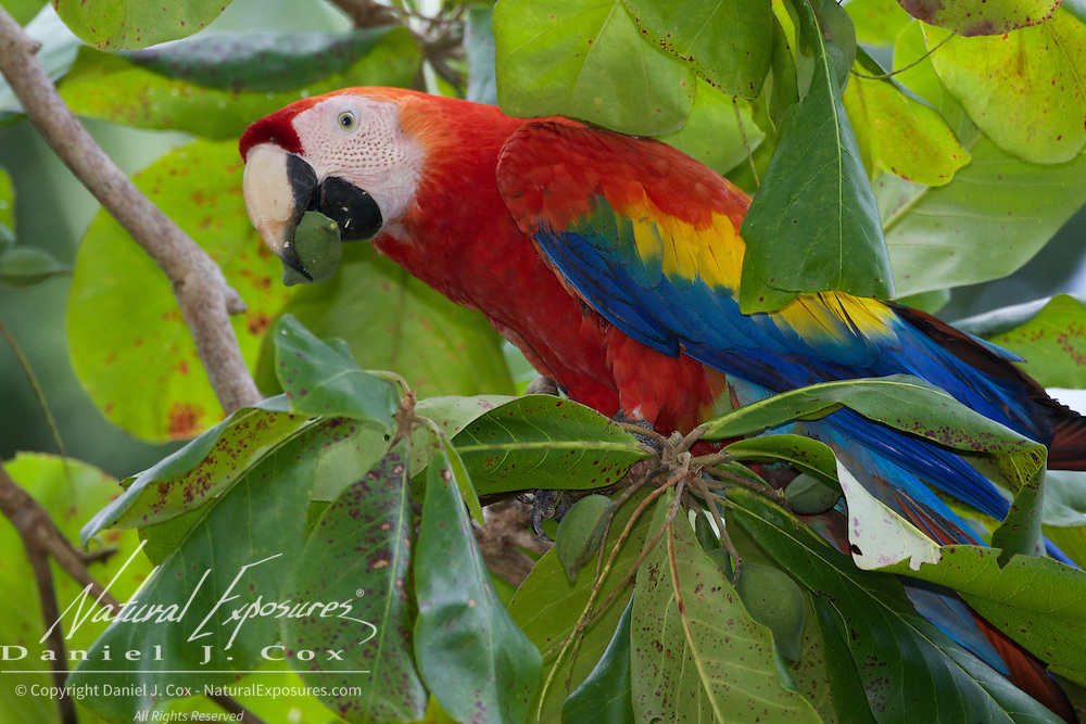Scarlet Macaw feeding on beach almonds. Osa Peninsula, Costa Rica.