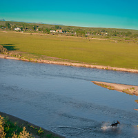 A bull moose (Alces alces) wades across the Jefferson River near Willow Creek, Montana.