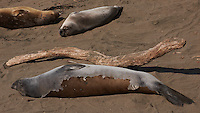 Elephant Seals and Driftwood at Piedras Blancas Beach, Central California Coast. Image taken with a Nikon D3x and 70-300 mm VR lens (ISO 100, 145 mm, f/11, 1/400 sec)