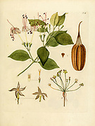 hand painted Botanical illustration of flower details leafs and plant from Collectaneorum Supplementum by Nicolai Josephi Jacquin Published 1796. Figure 4