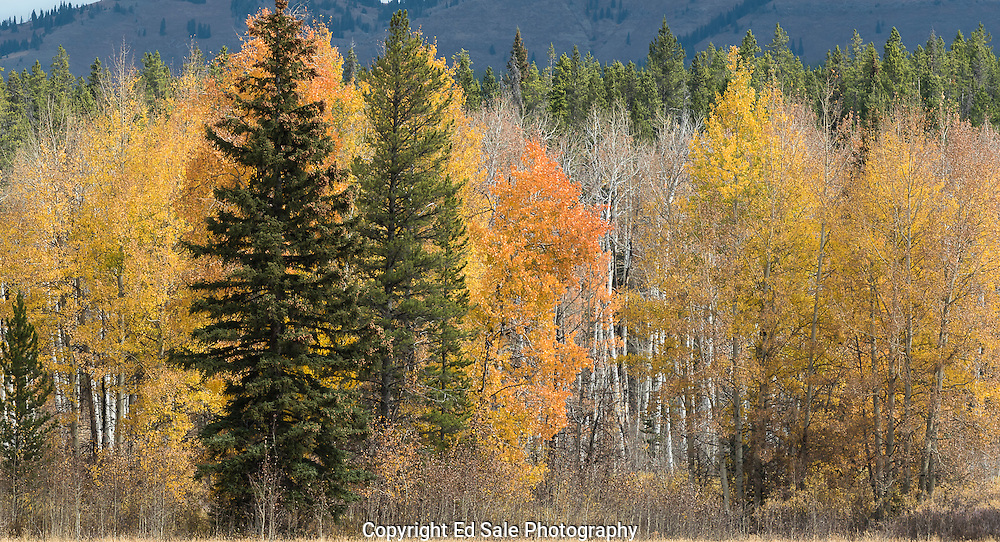 As Autumn wanes fall colors adorn Aspen trees in Teton National Park wihile many trees have already lost their leaves