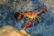 Red Swamp Crayfish<br /> <br /> Jennifer Idol/Engbretson Underwater Photography