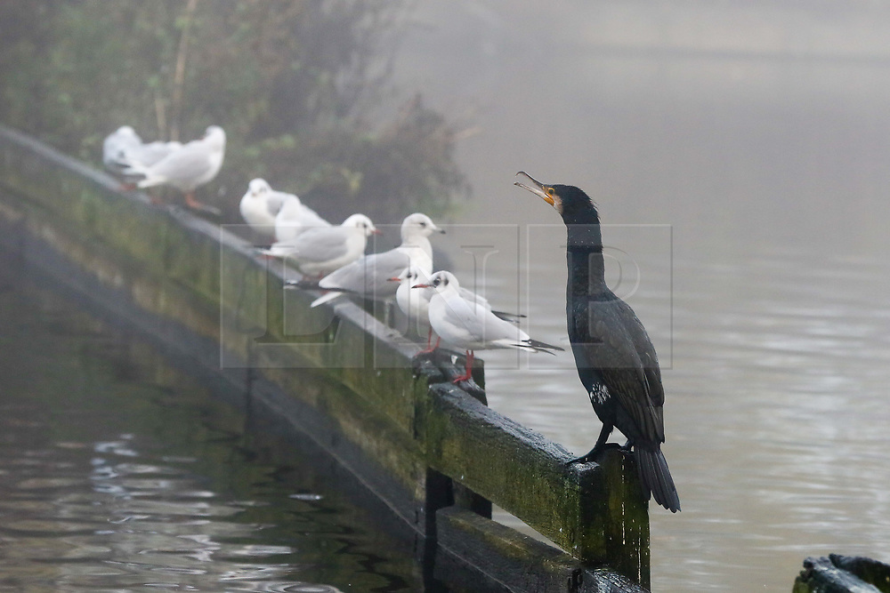 © Licensed to London News Pictures. 08/12/2020. London, UK. Birds sitting on a fence dense fog in Finsbury Park, north London. Freezing cold and foggy weather is forecast across many parts of the UK. The Met Office has issued a yellow weather warning for the UK unlit 11am for low visibility. Photo credit: Dinendra Haria/LNP