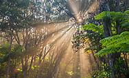 Sunlight beams through trees in tropical forest, Kilauea Volcano, Hawai'i Volcanoes National Park, Big Island of Hawai'i, Hawaii