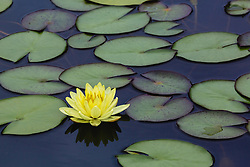 Water Lily, yellow, #3