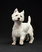Gus the Westie at my studio with a black backdrop