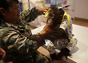 """KUNMING, CHINA - AUGUST 24: Workers dress the famous red hair orangutan \""""Er Mao\"""" in a skirt at a shopping mall on August 24, 2016 in Kunming, Yunnan Province of China. Famous red hair orangutan \""""Er Mao\"""" of Yunnan Wild Animals Park tried new clothes and finally bought three skirts with the help of its keeper at the children\'s wear store in a shopping mall on Wednesday in Kunming.<br /> ©Exclusivepix Media"""