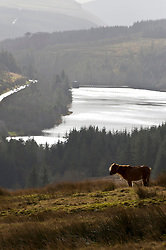 © Licensed to London News Pictures. 01/03/2020. Brecon Beacons National Park, Powys, Wales, UK  On the first day of meteorological spring, a Welsh mountain pony turns its back to the bitterly cold wind in the Brecon Beacons National Park, Powys, Wales, UK. Photo credit: Graham M. Lawrence/LNP