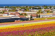 Flower Fields, Carlsbad, California
