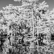 Glowing Cypress - Caddo Lake, Texas - Infrared Black & White