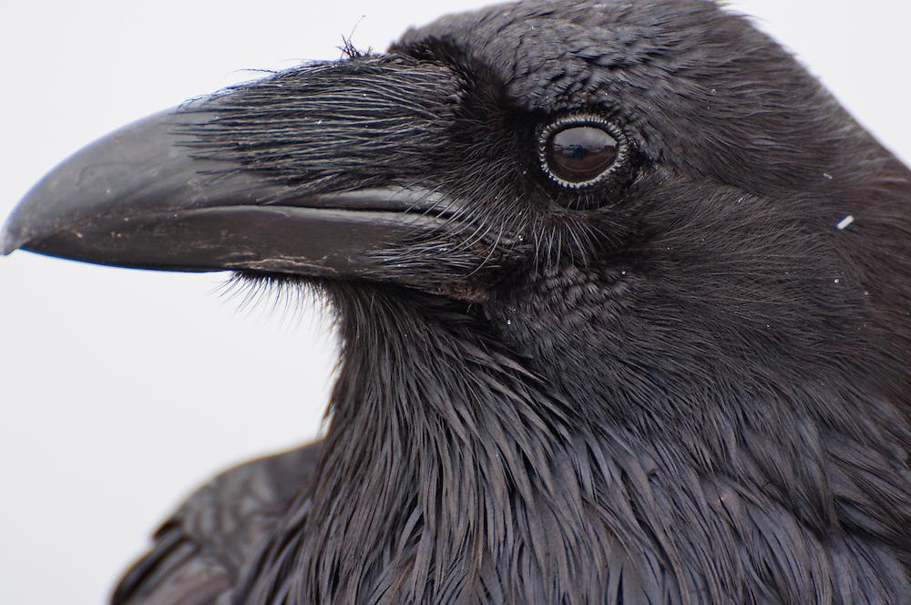 A Common Raven portrait on Hurricane Ridge, Olympic National Park, Washington