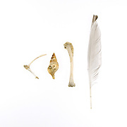 Ivory, white and cream: Stimpson Whelk (Colus stimpsoni), sea gull feather (probably a Herring Gull), and two bird bones.