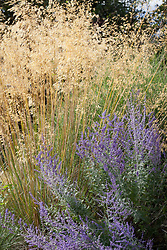 Stipa gigantea (Golden oats) with Perovskia atriplicifolia 'Blue Spire'