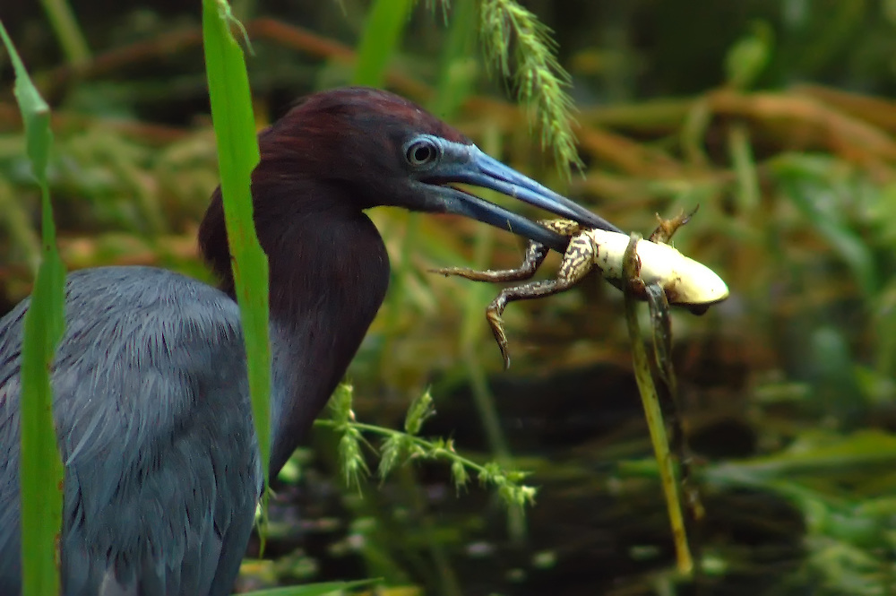 Little blue heron catching a pig frog during a rainstorm in the Corkscrew Swamp in Collier County, Florida. Just perfect timing!