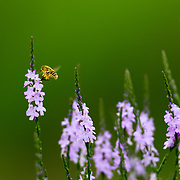 A bee fly hovers between spring flowers in a south Texas meadow near Corpus Christi.