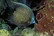 """French angelfish, Pomacanthus paru, feeding on <br /> """" touch-me-not """" sponge, Neofibularia nolitangere, <br /> is attacked by three spot damselfish defending its territory, <br /> West Bay, Grand Cayman Island ( Caribbean Sea )"""