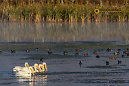 White Pelicans at the Lee Metcalf National Wildlife Refuge near Stevensville, Montana, USA