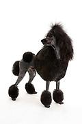 Ladies Kennel Association<br /> 2008 Championships<br /> Standard poodle (Diesel)<br /> Owner Hazel Miller