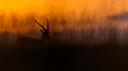 Grant's gazelle in the grass of Maasai Mara in the hour before sunrize.
