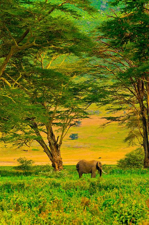 African Elephant, Ngorongoro Crater, Ngorongoro Conservation Area, Tanzania