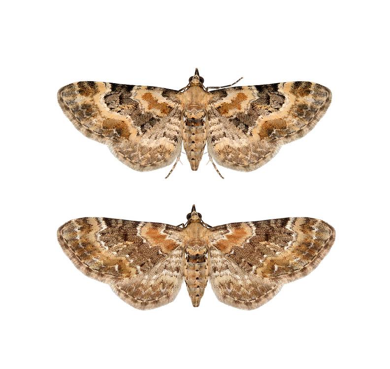 70.151 (1817)<br /> Foxglove Pug - Eupithecia pulchellata