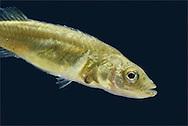 Fish Leech - Piscicola geometra