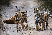 Four Bengal tigers in the wild (Panthera tigris tigris) waking up and starting to walk down a pathway ,Ranthambhore National Park, Rajasthan, India,