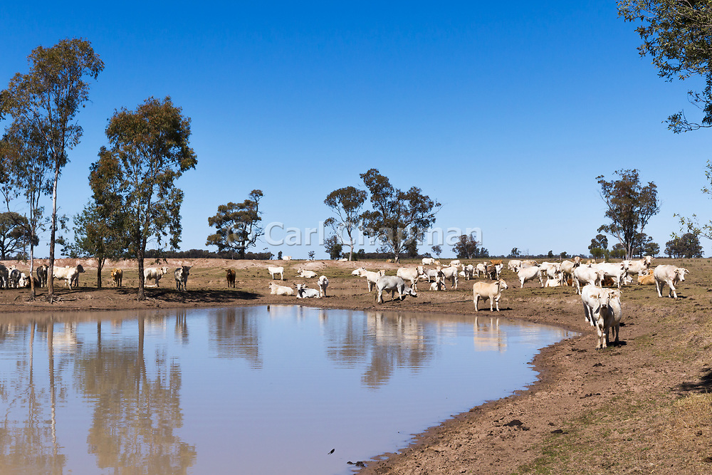 Brahman cross (Bos Indicus) cattle in outback farm paddock around watering hole earthen dam in The Gums, Queensland, Australia <br /> <br /> Editions:- Open Edition Print / Stock Image