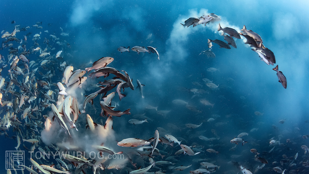 Twinspot snapper (Lutjanus bohar) engaged in a mass spawning aggregation early in the morning. This photograph was the winner of the Under Water category of the 52nd Wildlife Photographer of the Year competition in 2016 (#WPY52) organized by the Natural History Museum in London.