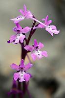 Anatolian Orchid (Orchis anatolica), Katharo, Crete