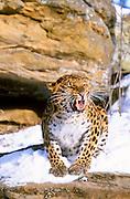 Endangered amur leopard of asia (c/c)