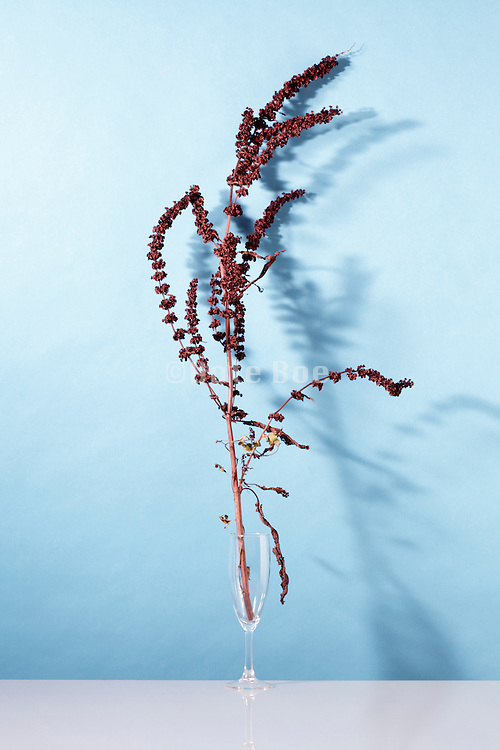still life with taken from nature dried up wildflower twig with seed heads / Withered sorrel