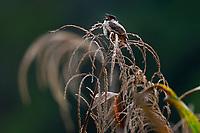 Sooty-headed Bulbul, Pycnonotus aurigaster, sitting and singing in grass at Wuliangshan Nature Reserve, Mount Wuliang Nature Reserve in Jingdong county, Yunnan, China.