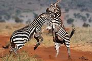 Two common  zebras , Equus quagga, fighting.