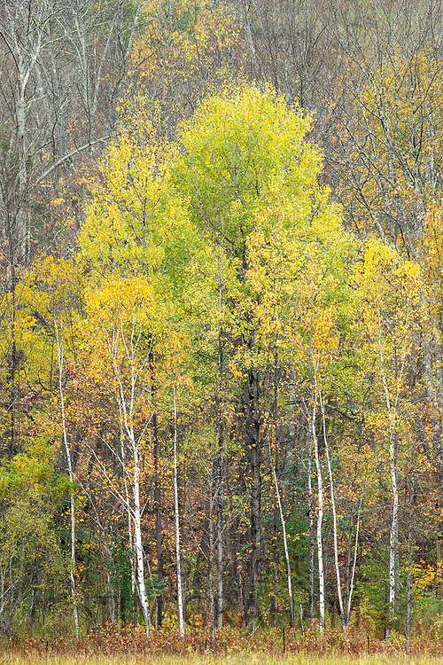 The Fall foliage colours of Aspen trees near Woodstock in Vermont, New England, USA